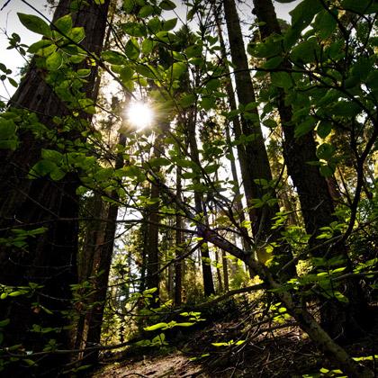 Sequoia.